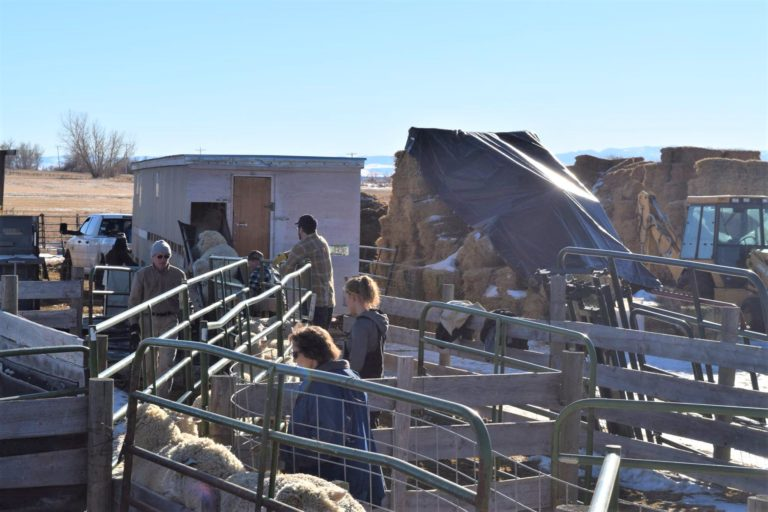 """Shearing day requires """"all hands on deck."""""""